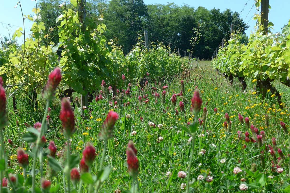 Jonc Blanc, entre les vignes, les fleurs